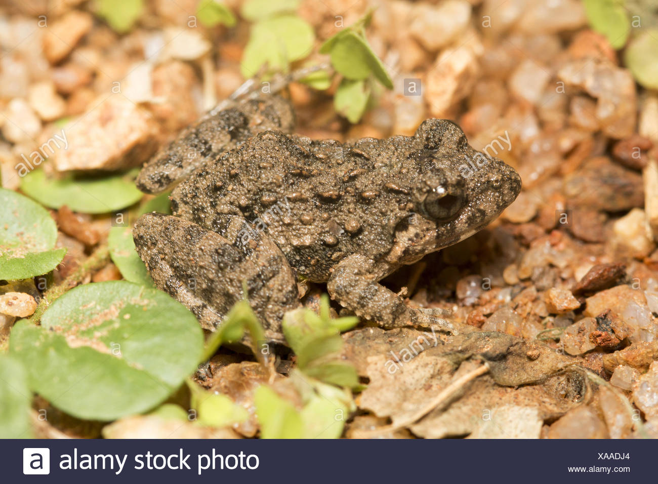 Cricket frog, Fejervarya sp., Barnawapara WLS, Chhattisgarh. Dicroglossidaefamily. - Stock Image