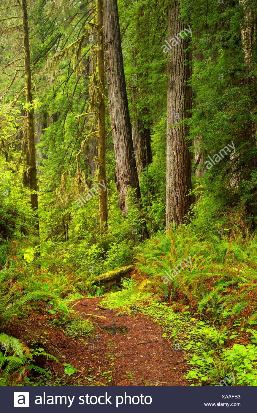 Coast redwood (Sequoia sempervirens) forest with Prairie Creek Trail, Prairie Creek Redwoods State Park, Redwood National Park, California. - Stock Image