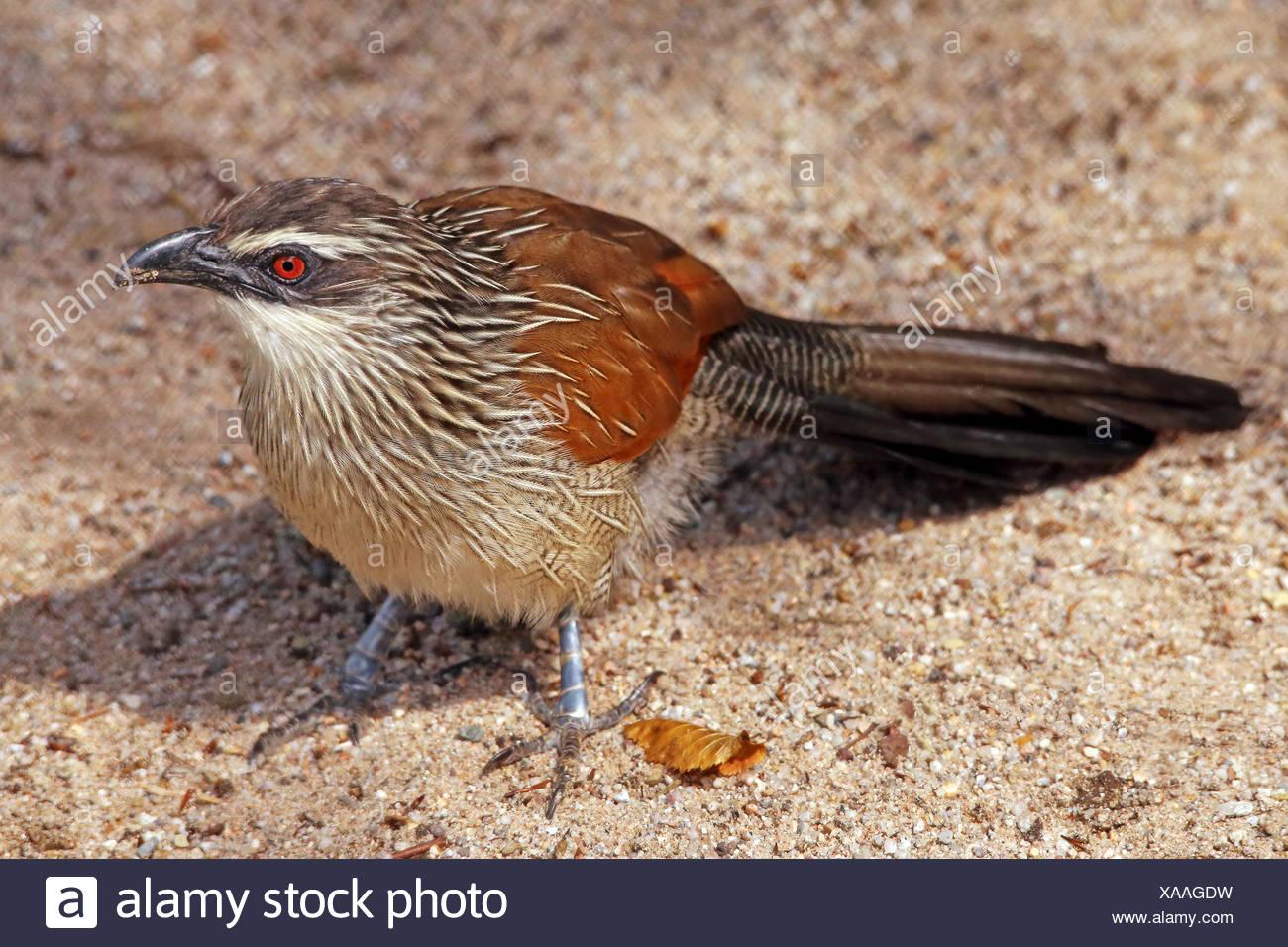 fauna africa - Stock Image