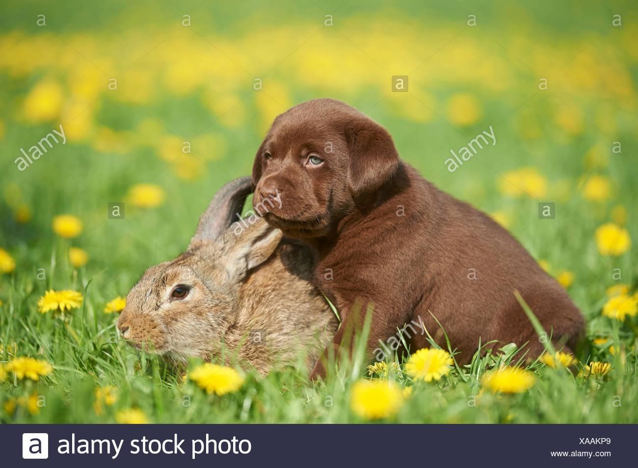 Labrador puppy and rabbit, Upper Palatinate, Bavaria, Germany, Europe - Stock Image
