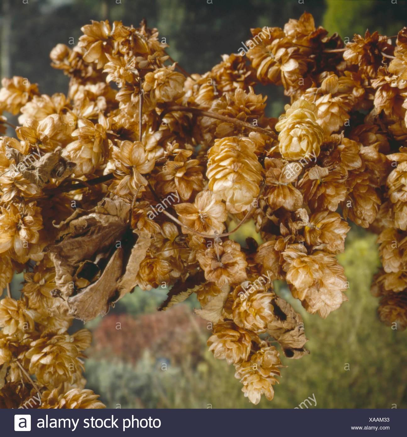 Dried Plants - Hops (Humulus lupulus)   DRI052912 - Stock Image