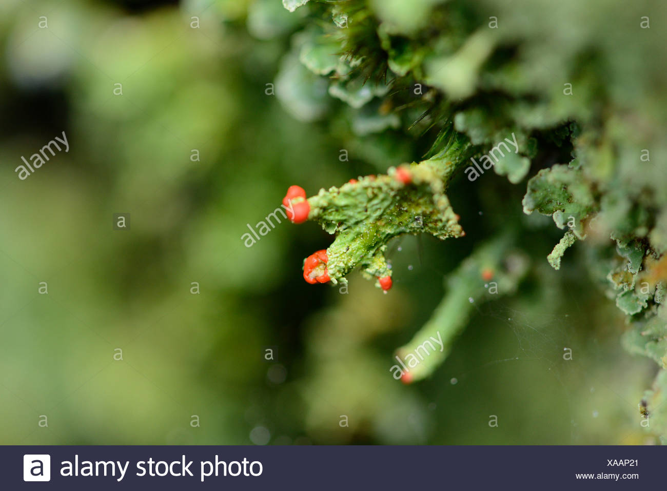 Cladonia, Cladonia spec., Upper Palatinate, Bavaria, Germany, Europe Stock Photo