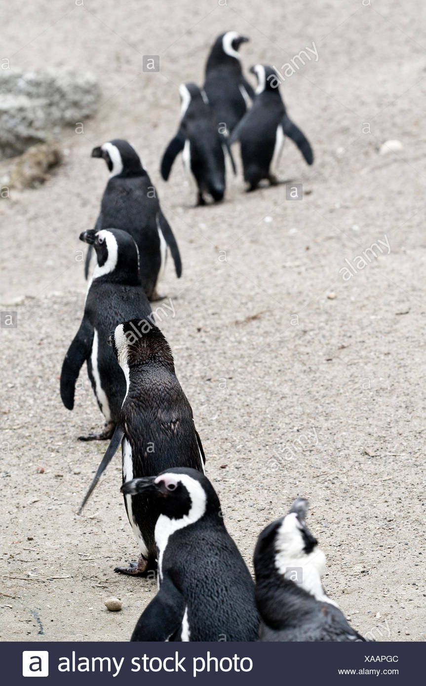 penguin fauna penguin outside deserted nature brillenpinguin brillenpinguine Stock Photo