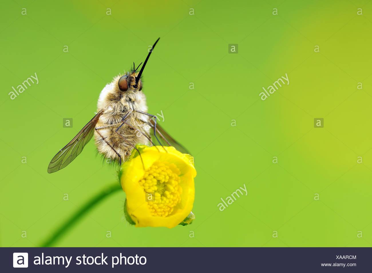 bee flies - Stock Photo