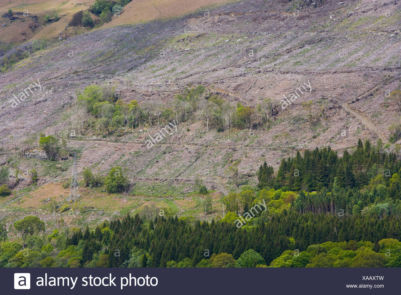 conifer plantation. and bare hillside after timber felling Stock Photo