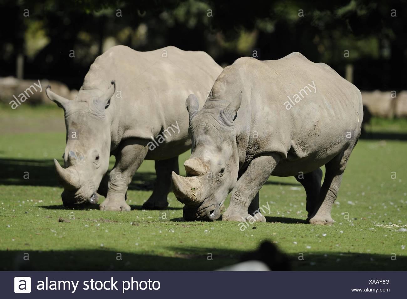square-lipped rhinos - Stock Image