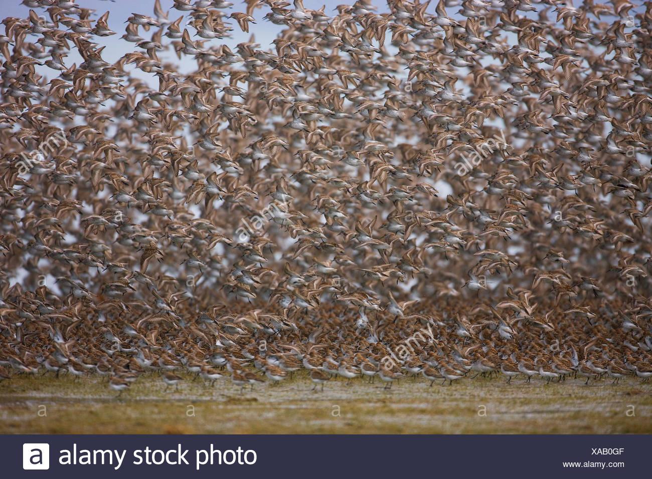 Shorebird migration on the Copper River Delta, Chugach National Forest, Cordova, Alaska - Stock Image