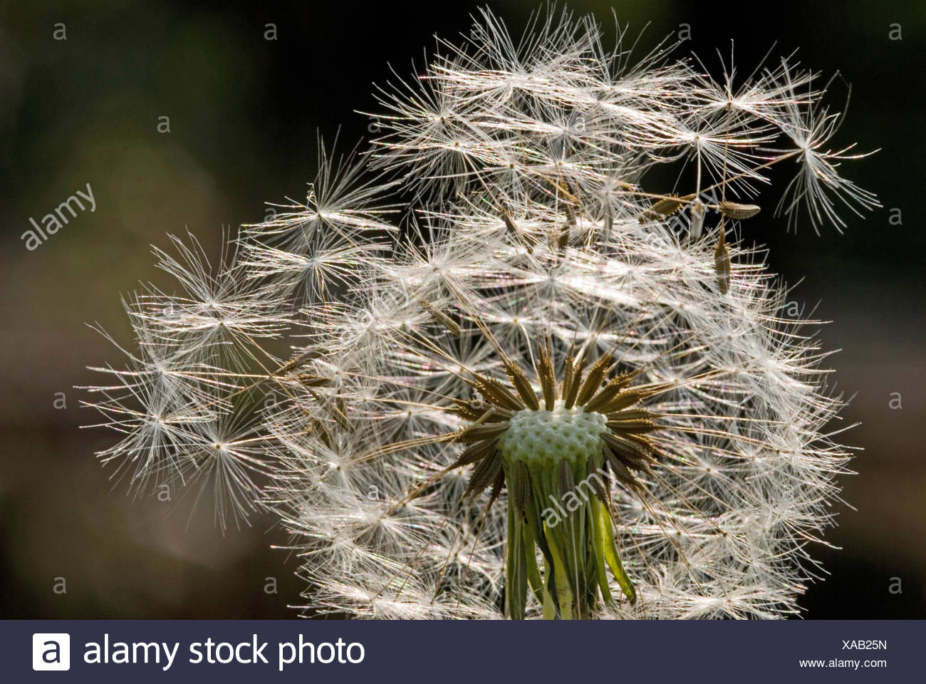 seed of Dandelion flower - Stock Image