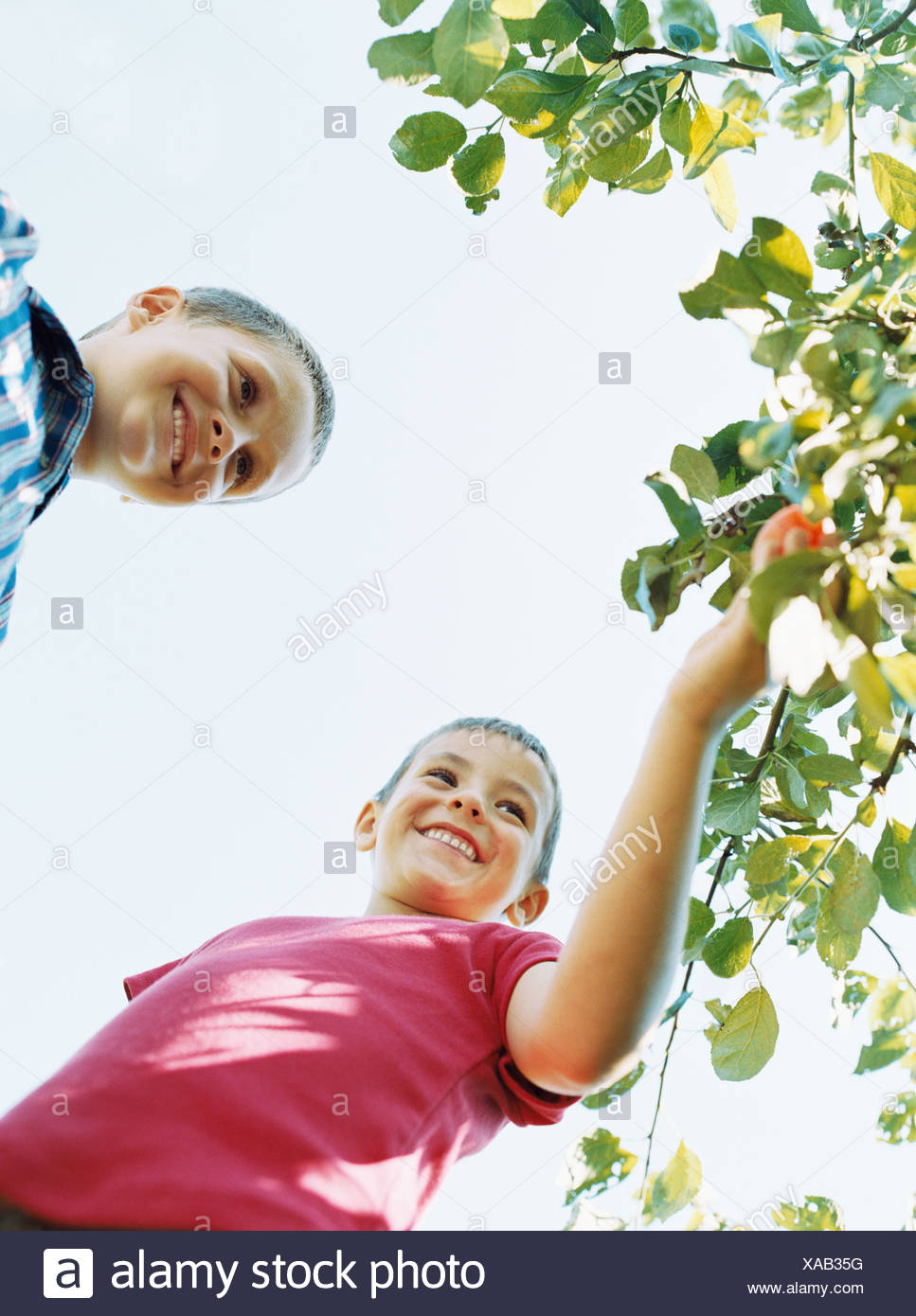 Boys picking fruit from a tree - Stock Image