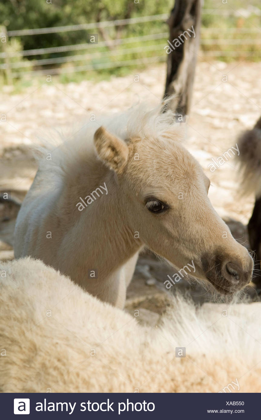 Young miniature horse - Stock Image