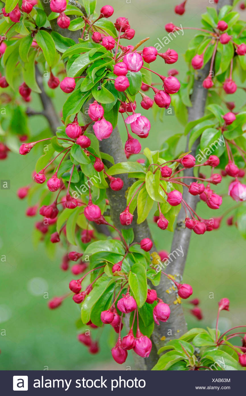 Ornamental apple tree (Malus 'Van Eseltine', Malus Van Eseltine), cultivar Van Eseltine in bud - Stock Image