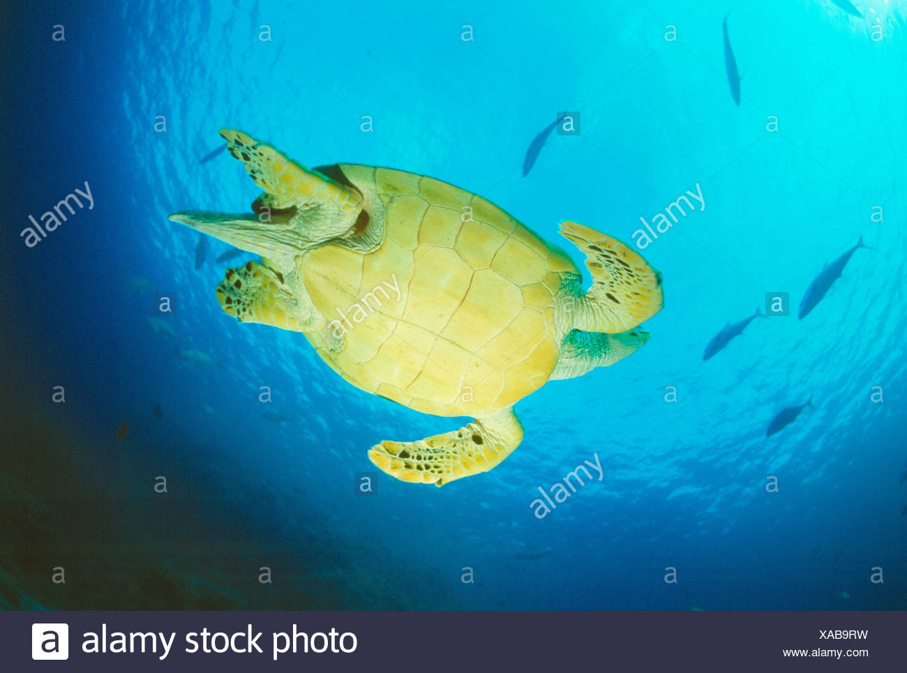 Egypt. Red Sea. View of underside of Hawksbill Turtle swimming underwater. Stock Photo