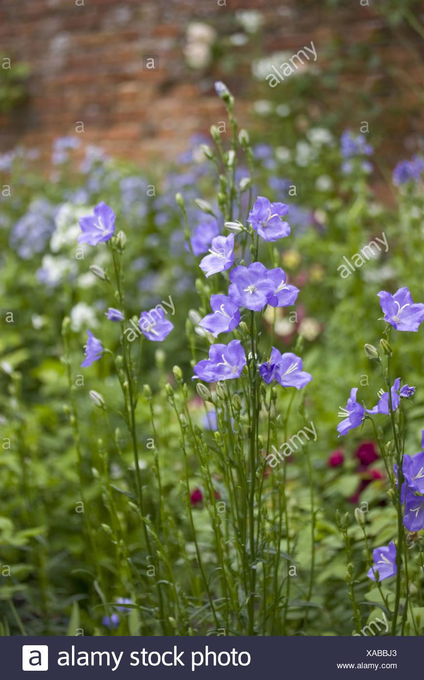 Campanulaceae Campanula Campanulas Persicifolia Bloom Blooms