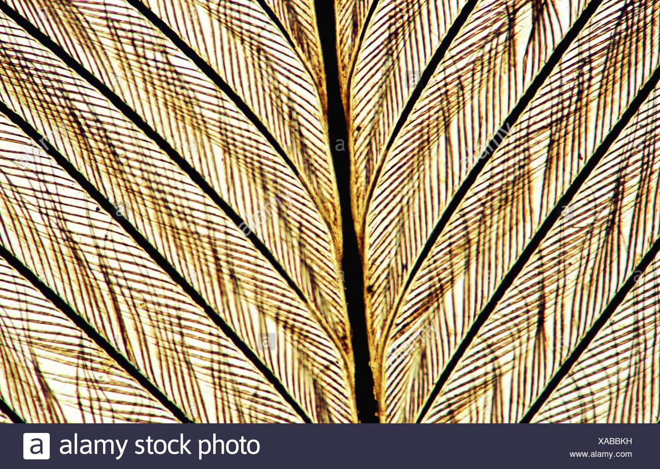 Bird feather, 100 X  optical microscope, photomicrography , histology Stock Photo