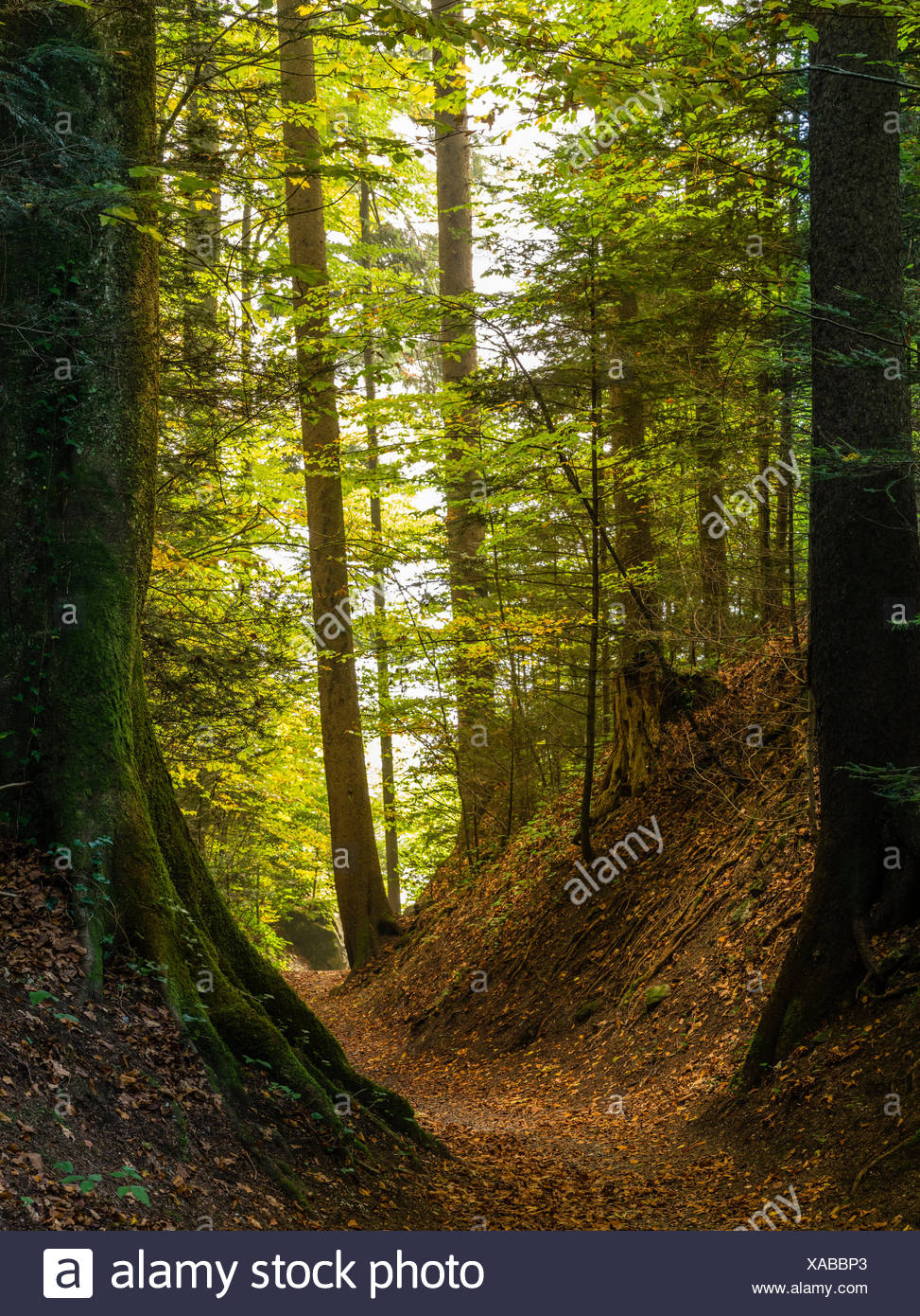 Hollow way in the autumn forest on the Way of St. James - Stock Image