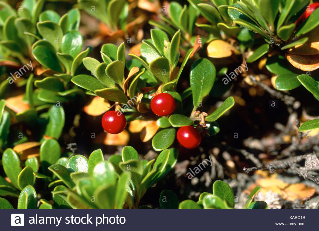 bearberry (Arctostaphylos uva-ursi), fruiting plant