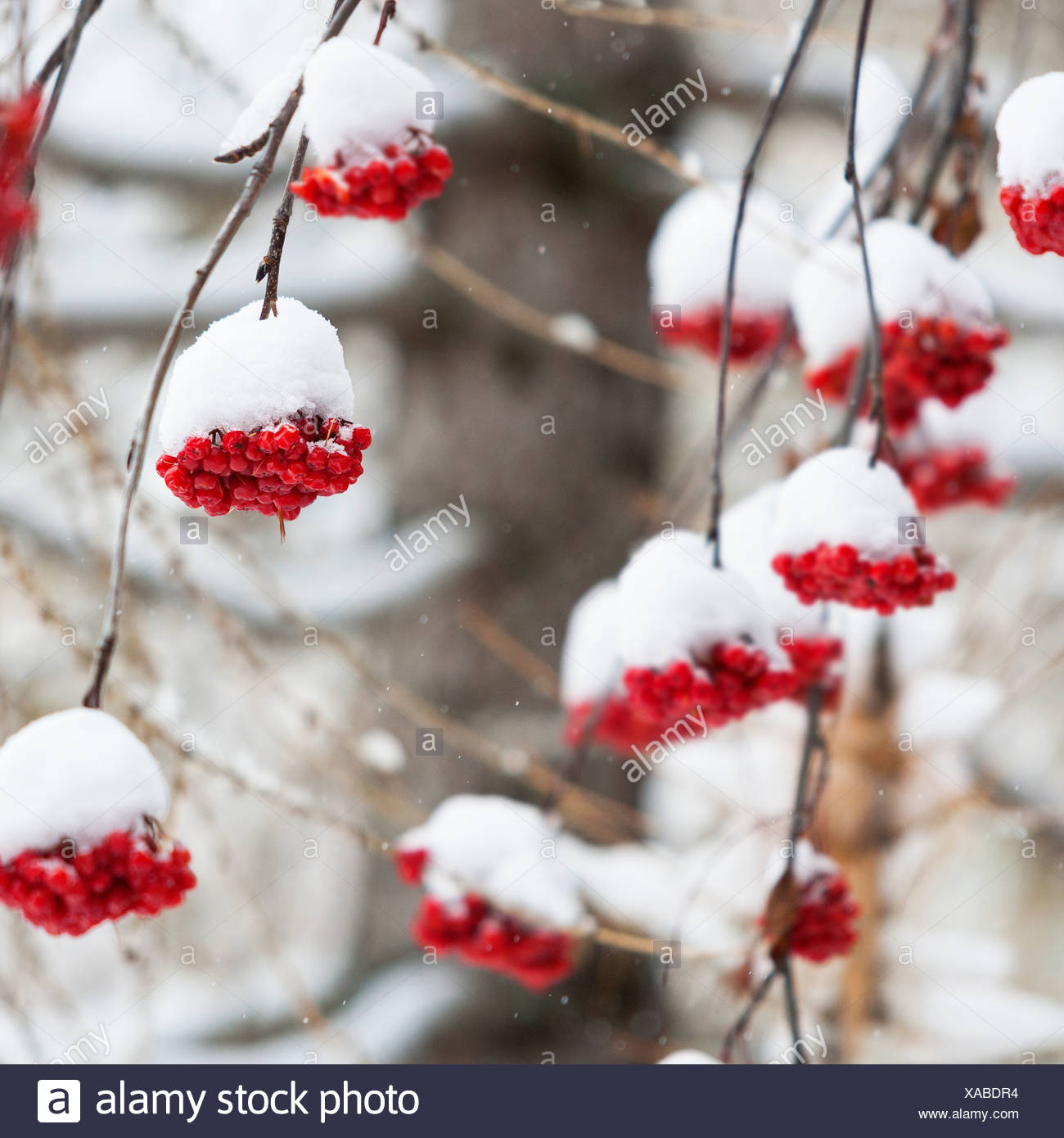 Snow covered red berries - Stock Image