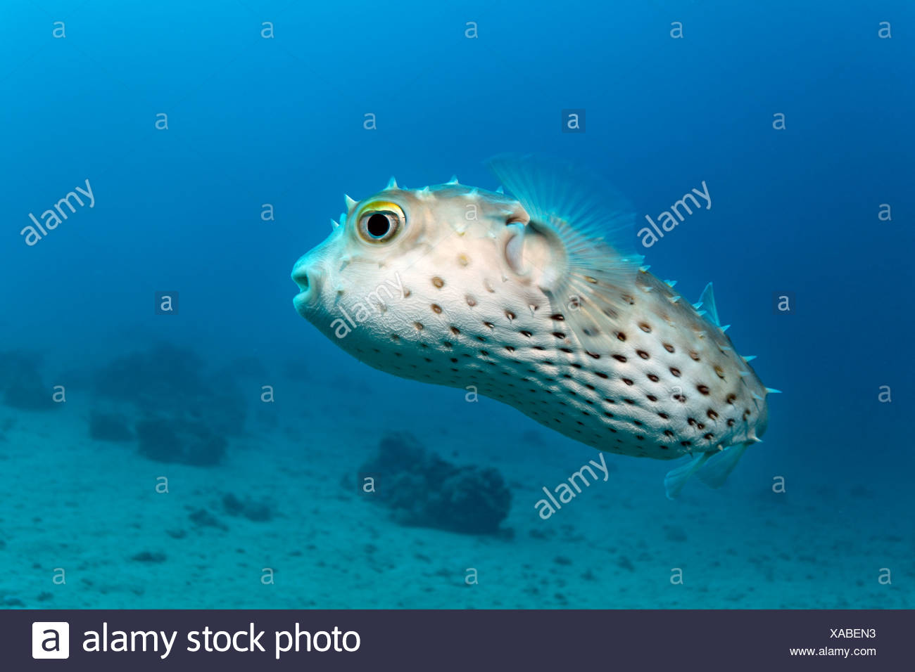 Yellow-spotted Burrfish (Chilomycterus spilostylus), Makadi Bay, Hurghada, Egypt, Red Sea, Africa - Stock Image