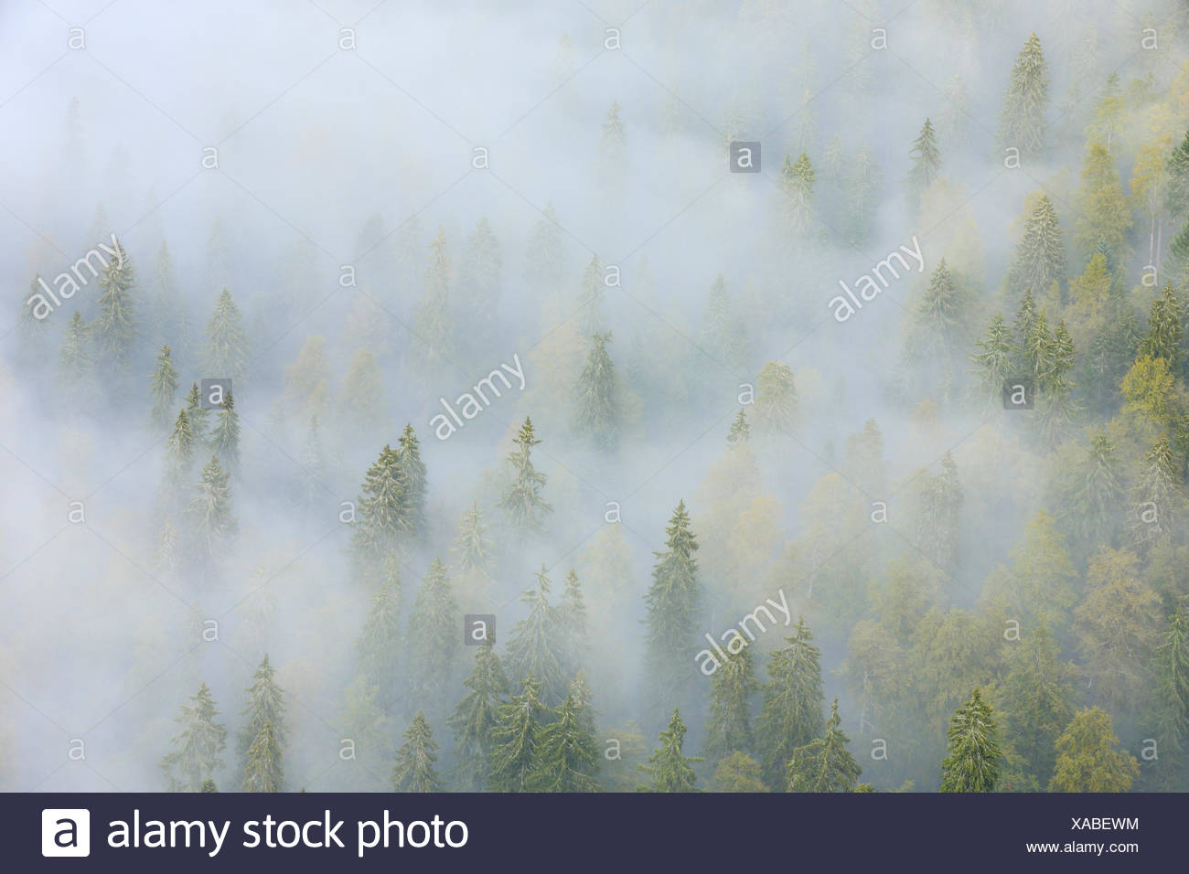 Tree, trees, spruce, spruces, spruce forest, Jura, nature, fog, fog patches, canton Neuenburg, Neuenburg Jura, plant, Switzerland - Stock Image