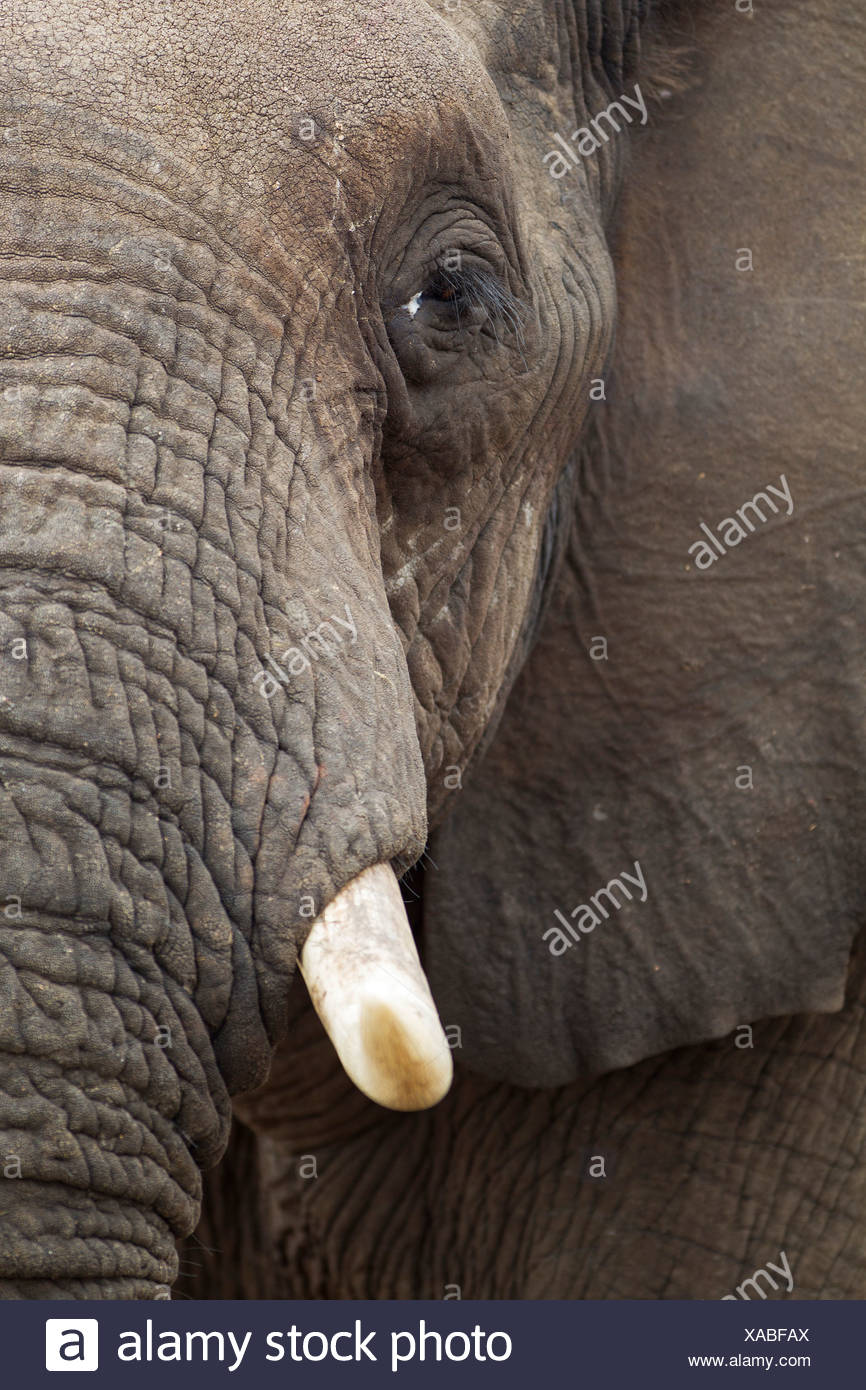 African Elephant (Loxodonta africana), close-up of a bull, Kruger National Park, South Africa Stock Photo