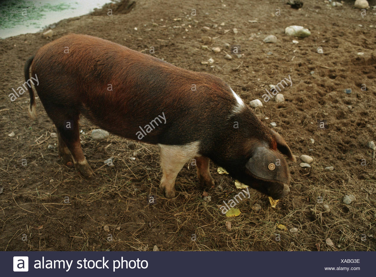 Danish Protest Pig (Sus scrofa f. domestica), looking for food on a soil ground - Stock Image