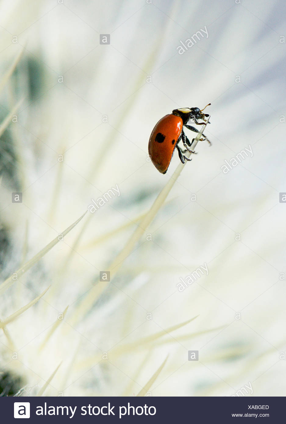 European seven spotted ladybird (Coccinella septempunctata) on a cactus - Stock Image