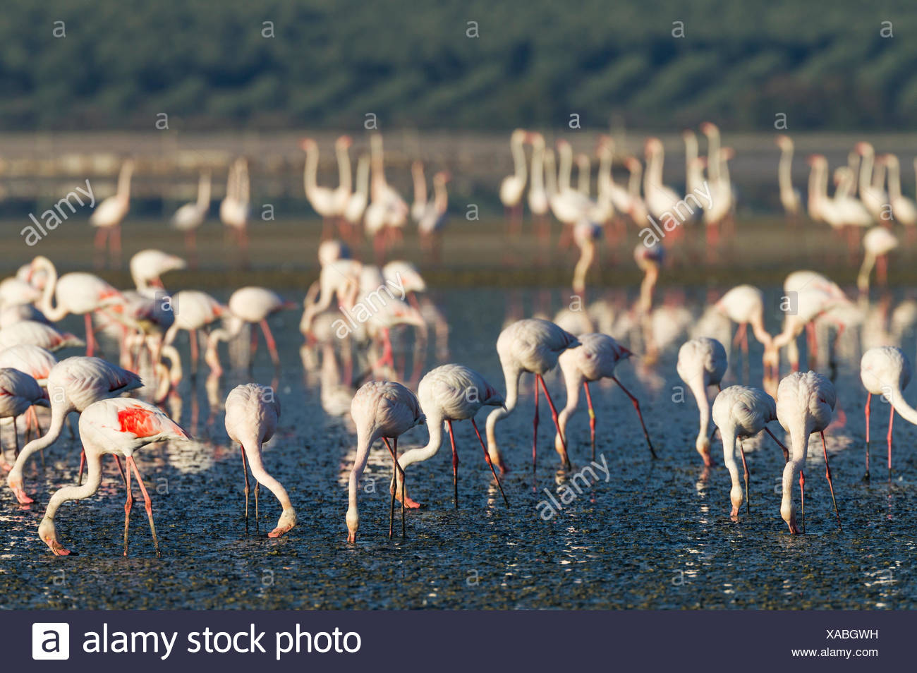 Greater Flamingo (Phoenicopterus roseus), feeding by filtering the water with their beaks, Laguna de Fuente de Piedra - Stock Image