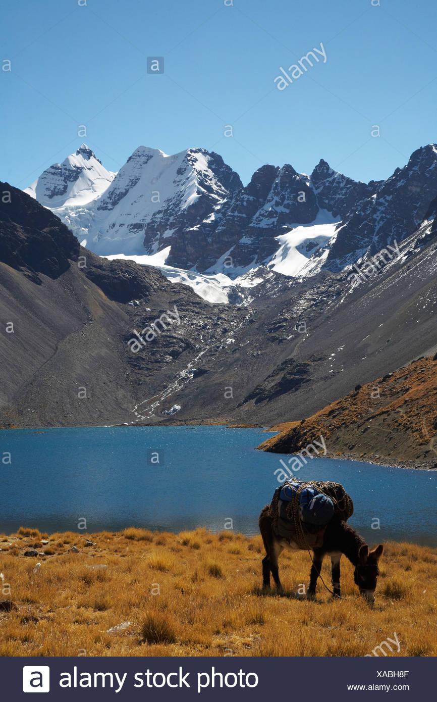 Donkey Grazing With Condorri Peak In Background - Stock Image