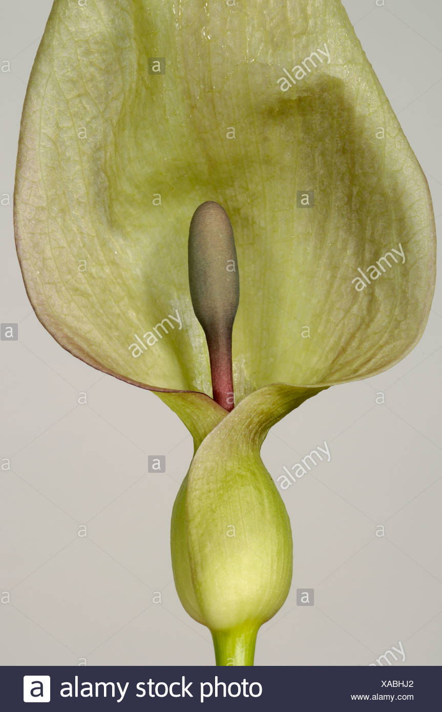 Lords ladies wild arum Arum maculatum hooded spathe and spadix - Stock Image