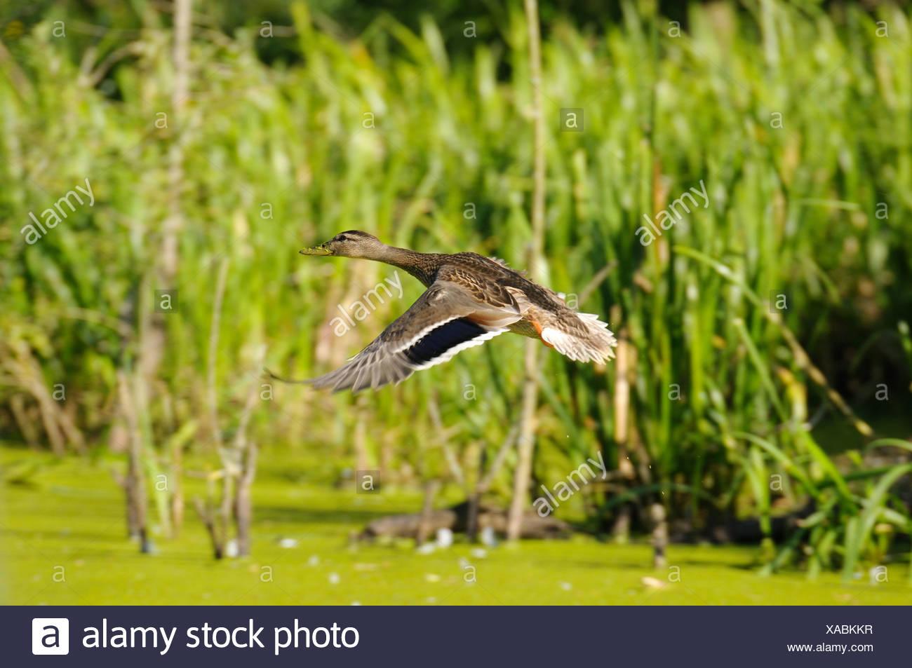 Mallard duck (Anas platyrhynchos) flying, side view - Stock Image