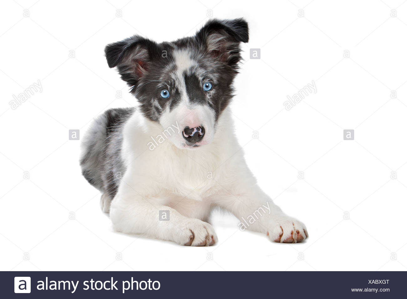Blue Merle Border Collie Puppy In Front Of A White Background Stock Photo Alamy
