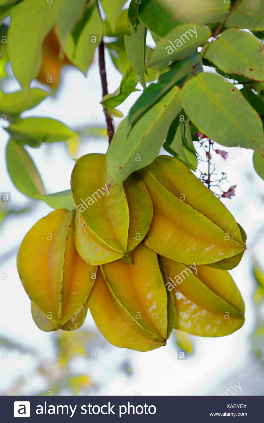 starfruit, carambola fruit, bilimbi, belimbing, Chinese star fruit, five-angled fruit, star apple (Averrhoa carambola), ripe fruits on a tree, Seychelles - Stock Image