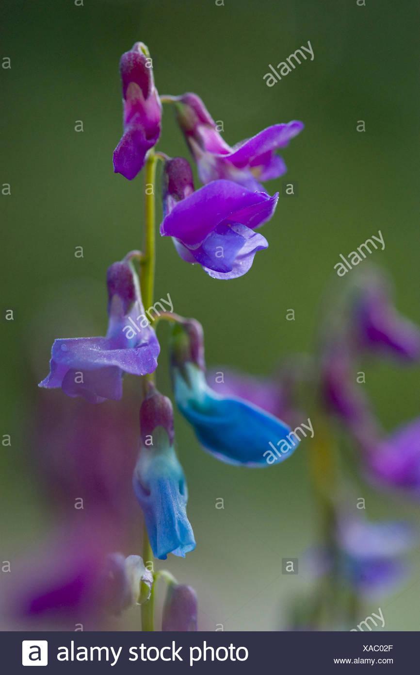 spring vetchling, lathyrus vernus - Stock Image