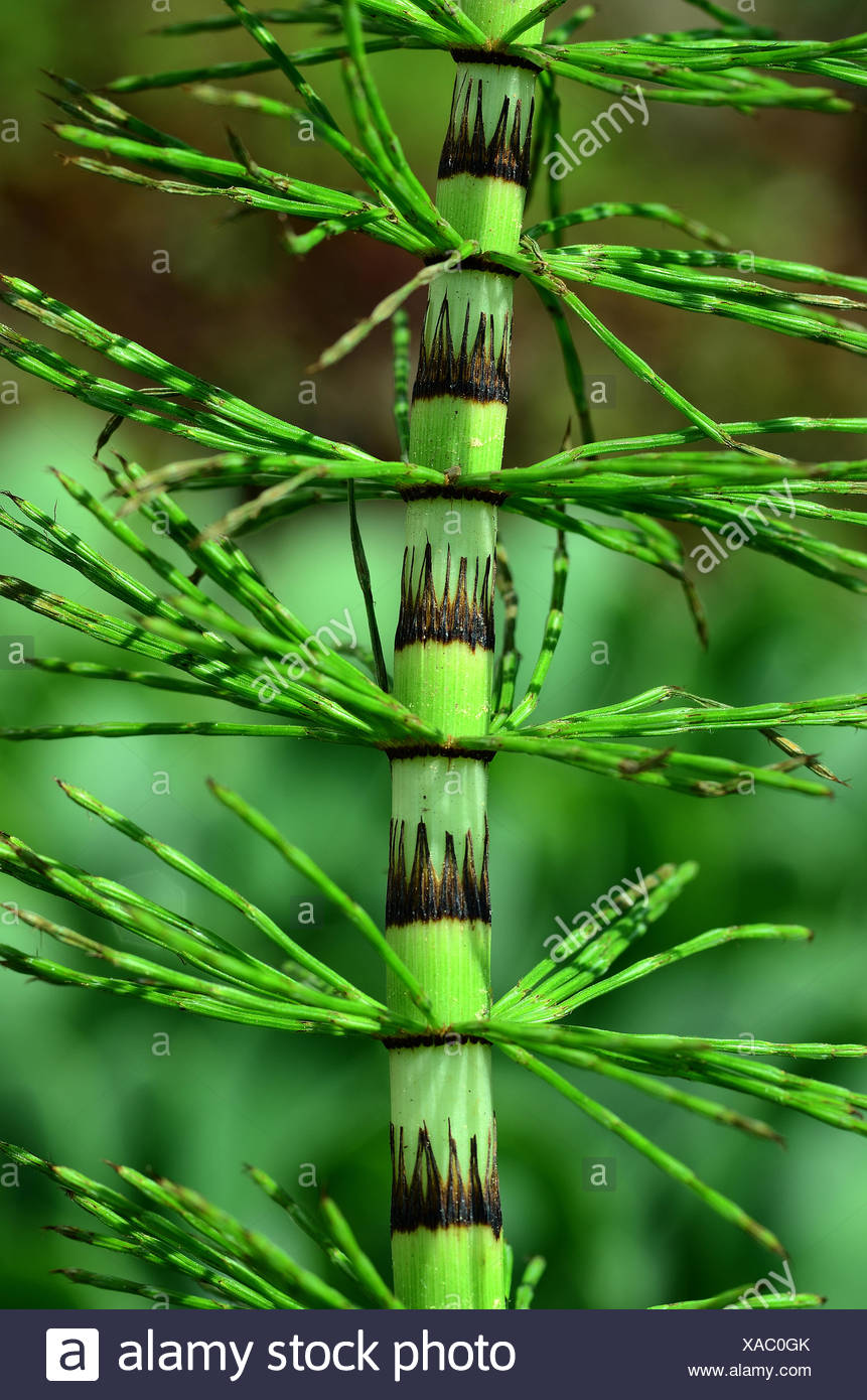 horsetail; wood horsetail; sylvan horsetail; - Stock Image