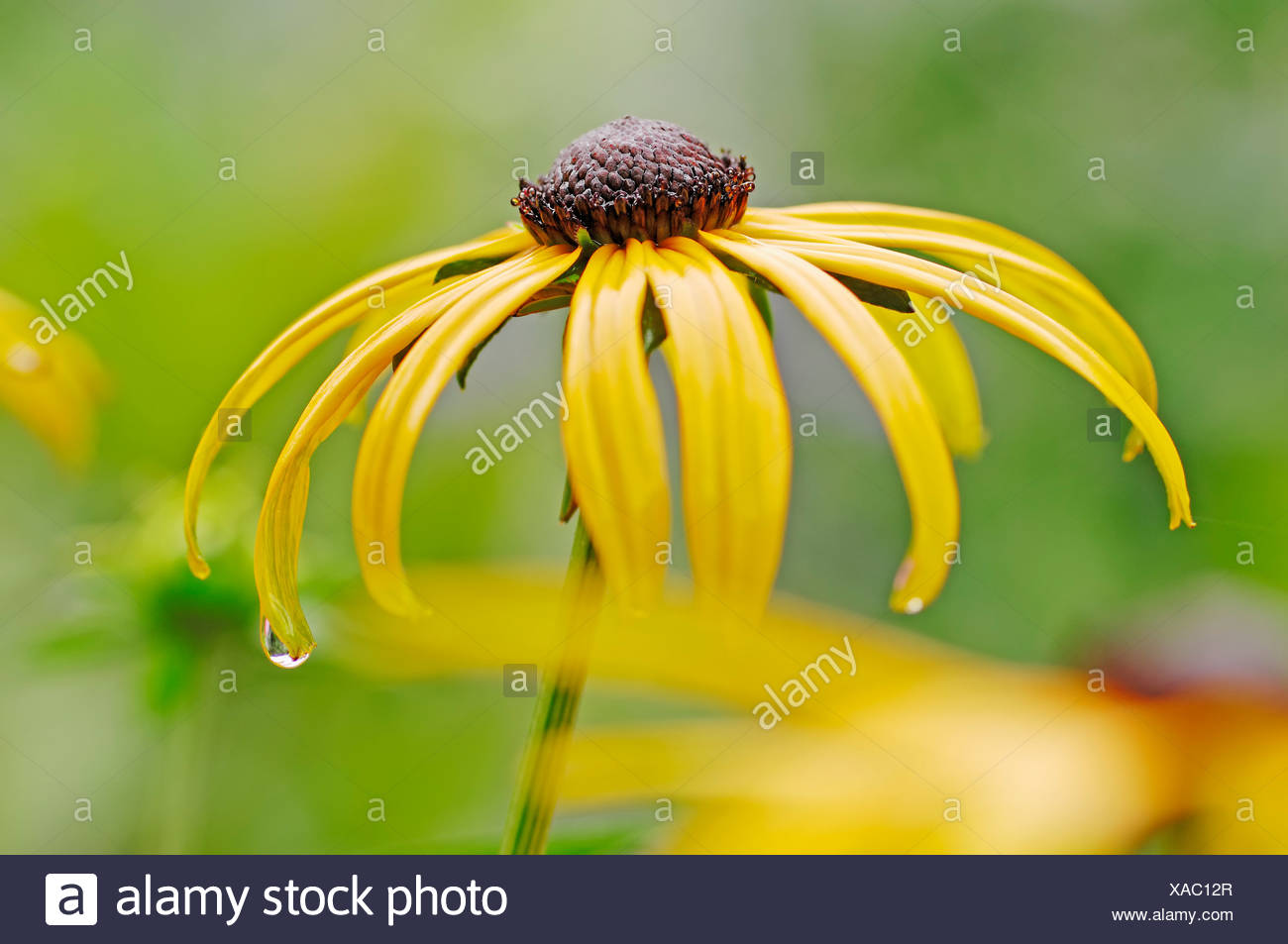 Orange coneflower (Rudbeckia fulgida), blossom, found in North America, garden plant, North Rhine-Westphalia Stock Photo