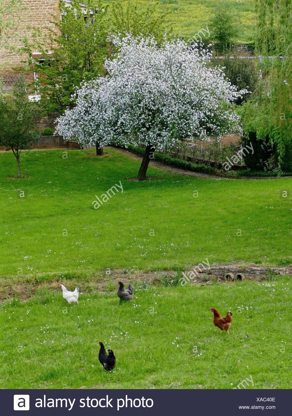 Free Range Chickens In Garden - Stock Image