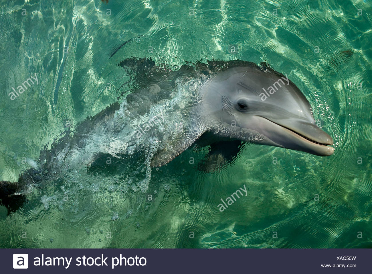 Bottlenose Dolphin, Honduras Stock Photo