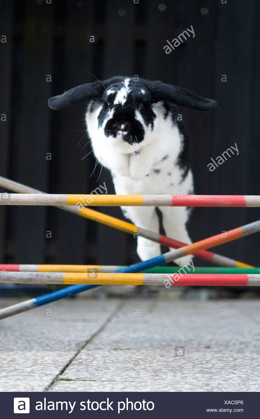 Close-up of a rabbit jumping over obstacles - Stock Image