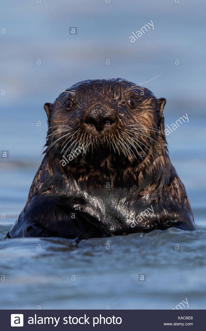 Sea Otter (Enhydra lutris) offshore of Seward, Alaska. - Stock Image