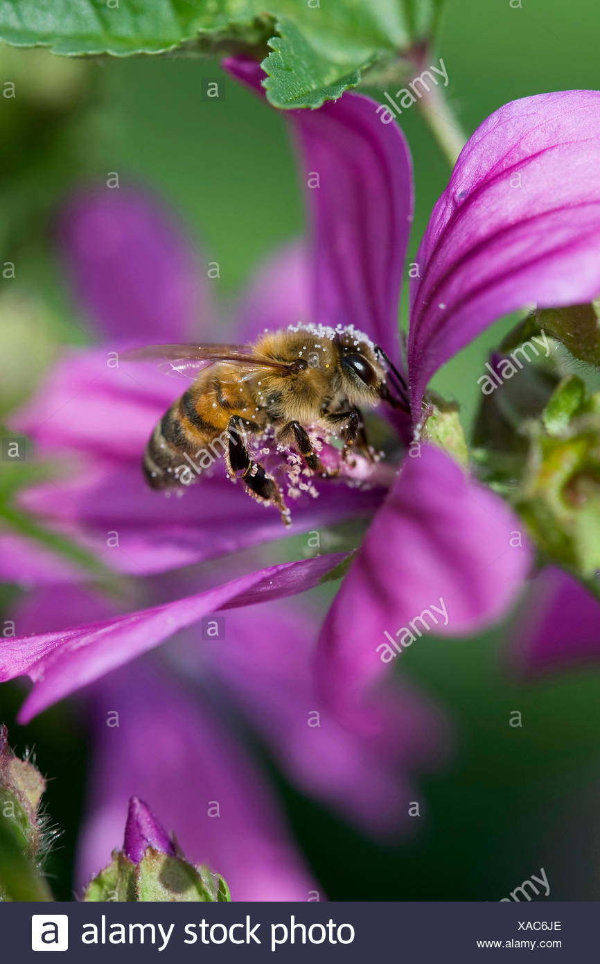 common mallow, blue mallow, high mallow, high cheeseweed (Malva sylvestris), flower with bumble bee with pollen, Germany - Stock Image