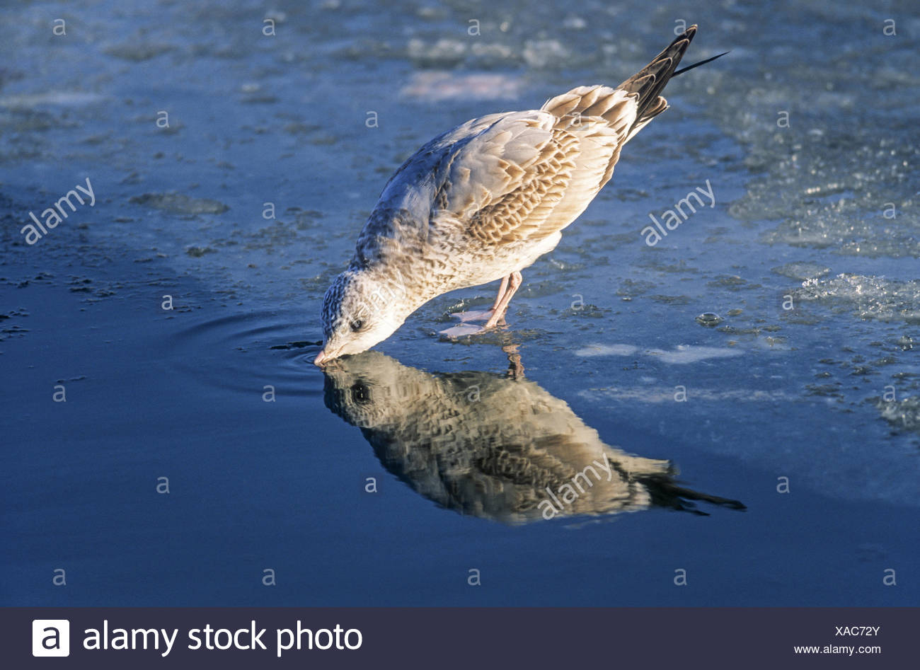 Common Gull in second winter plumage - Stock Image
