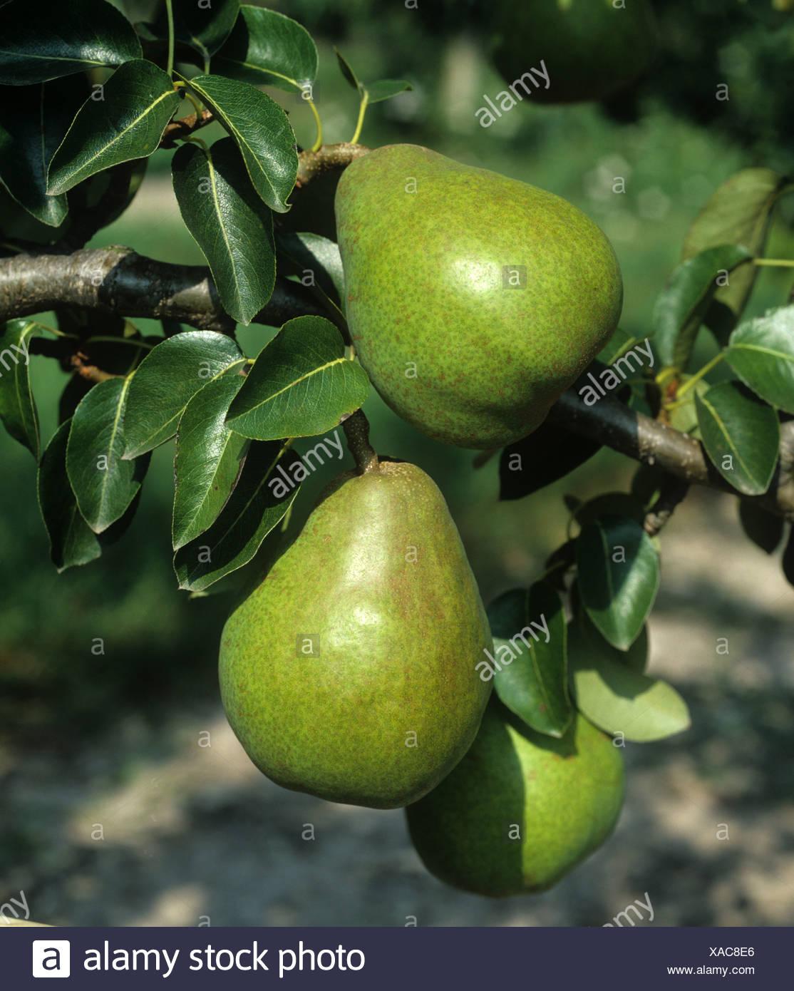 Mature Doyenne du Comice pear fruit on the tree, Oxfordshire - Stock Image