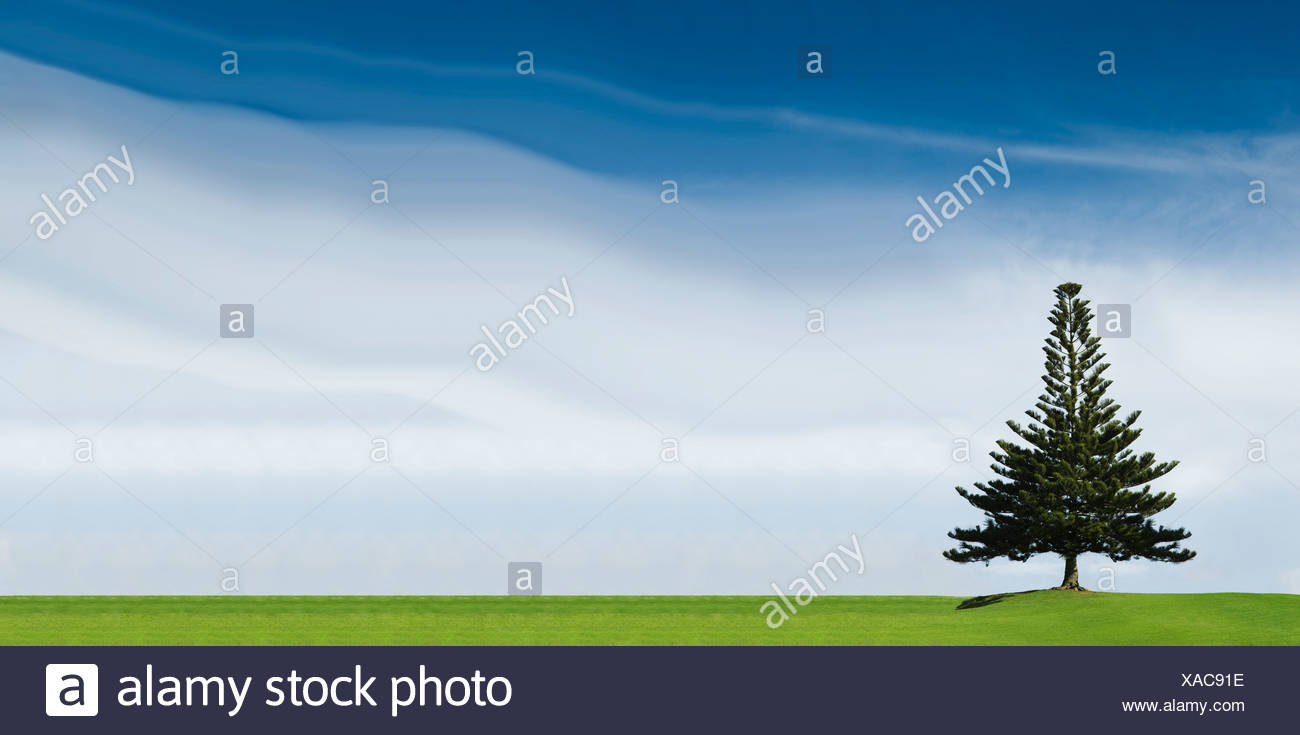 A Coniferous Tree Standing Alone In A Field - Stock Image