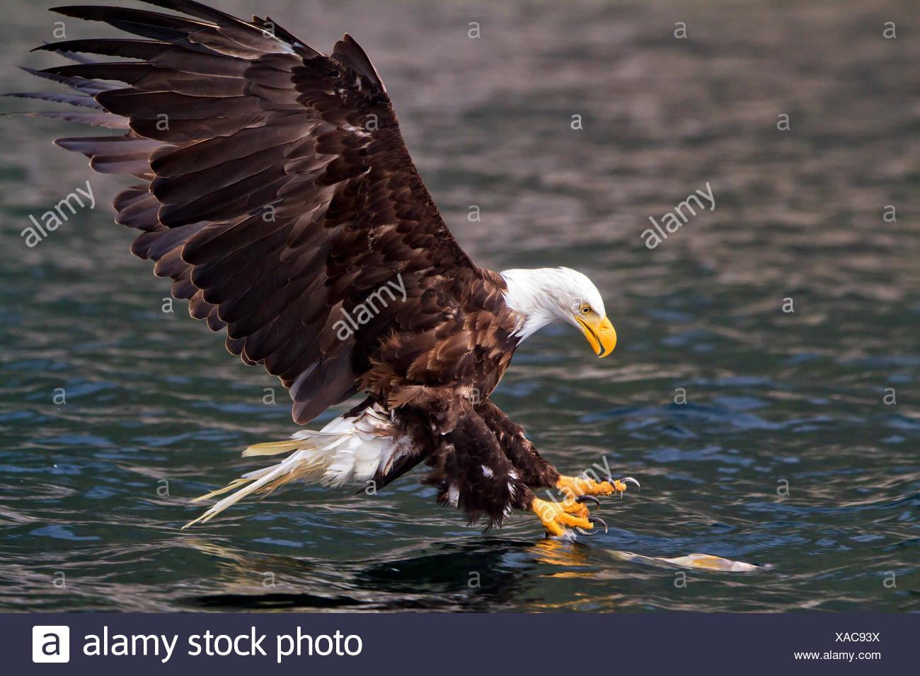 Bald eagle just before catching a fish in Broughton Archipelago Provincial Park, British Columbia, Canada. haliaeetus leucocephalus - Stock Image