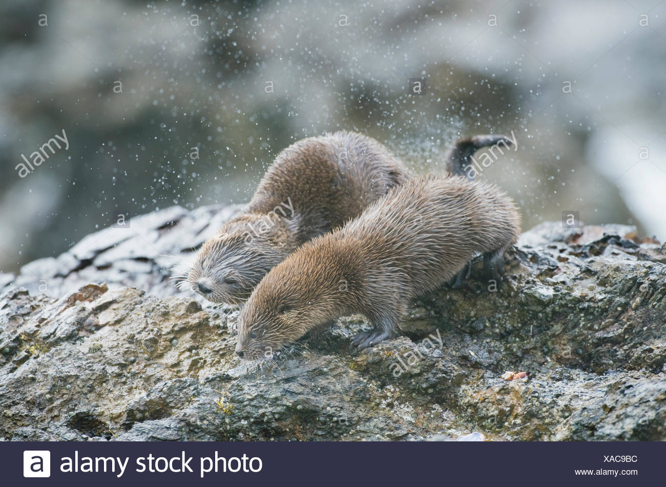 Marine otters (Lontra felina) mother and grown pup shaking off water, Chiloe Island, Chile, Endangered species - Stock Image