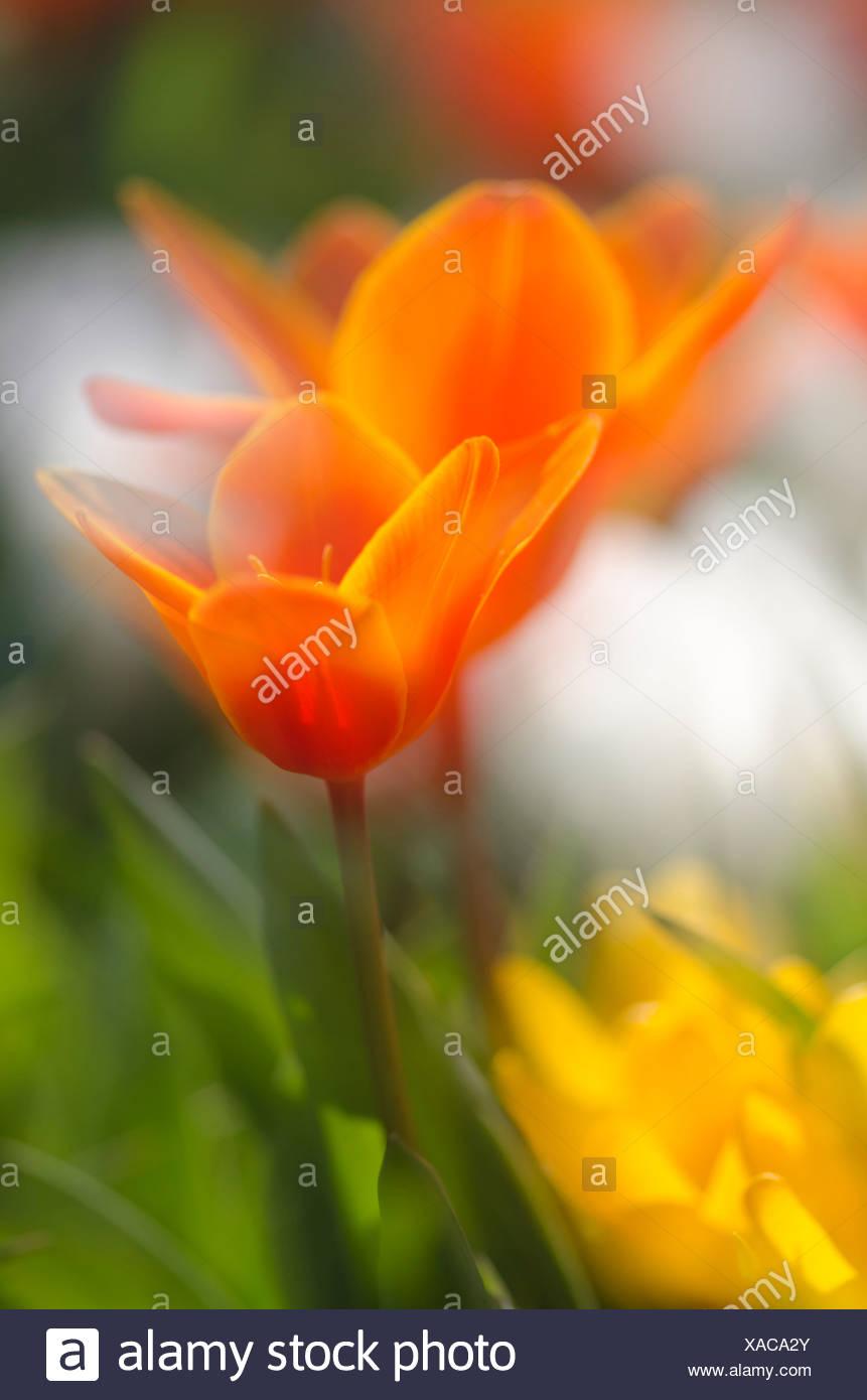 Open tulip chalice (Tulipa), red, Baden-Wuerttemberg, Germany, Europe - Stock Image