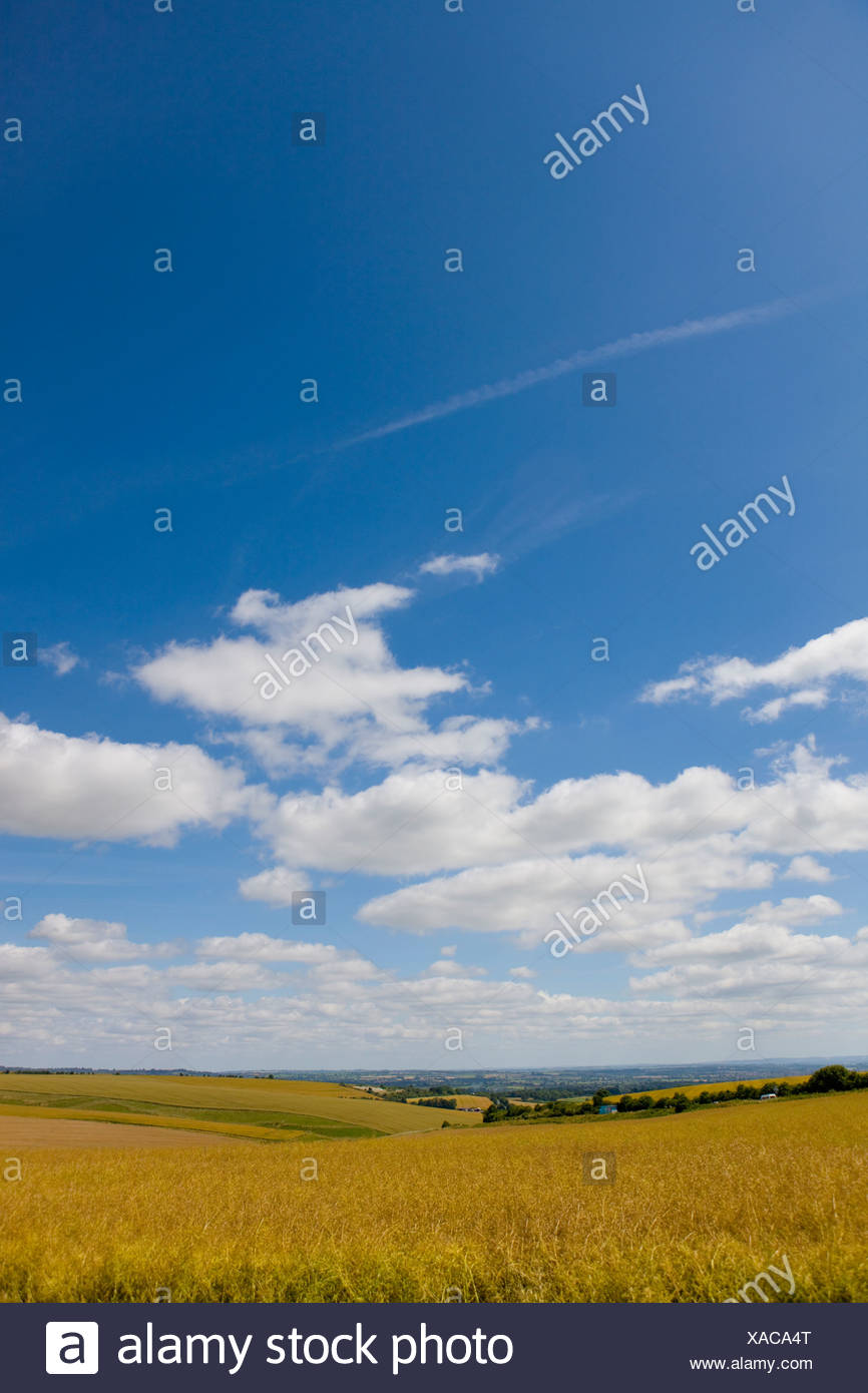 Clouds in blue sky over oat field - Stock Image