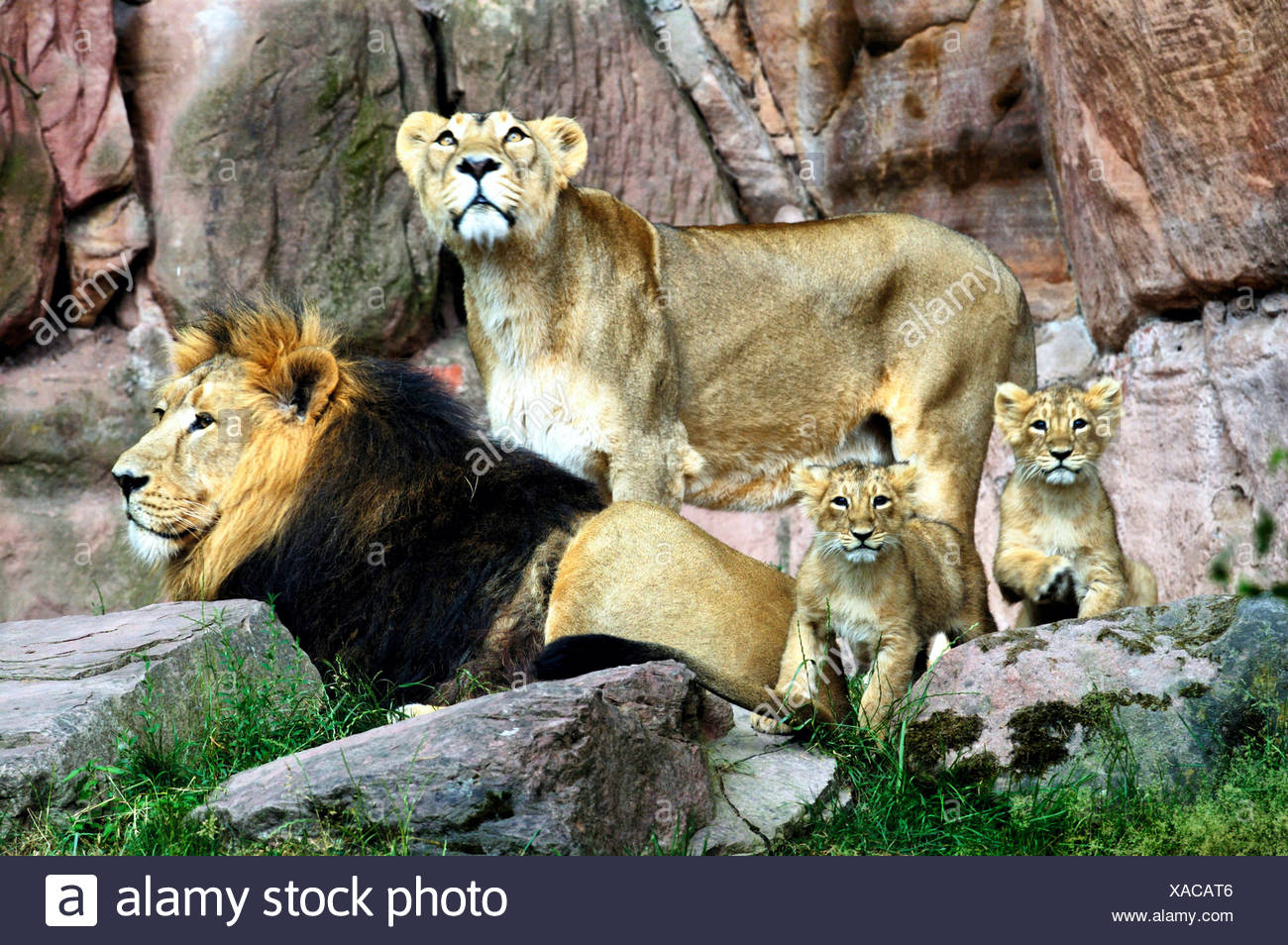 Asiatische Lions asiatischer löwe panthera leo persica asiatic lions stock photo
