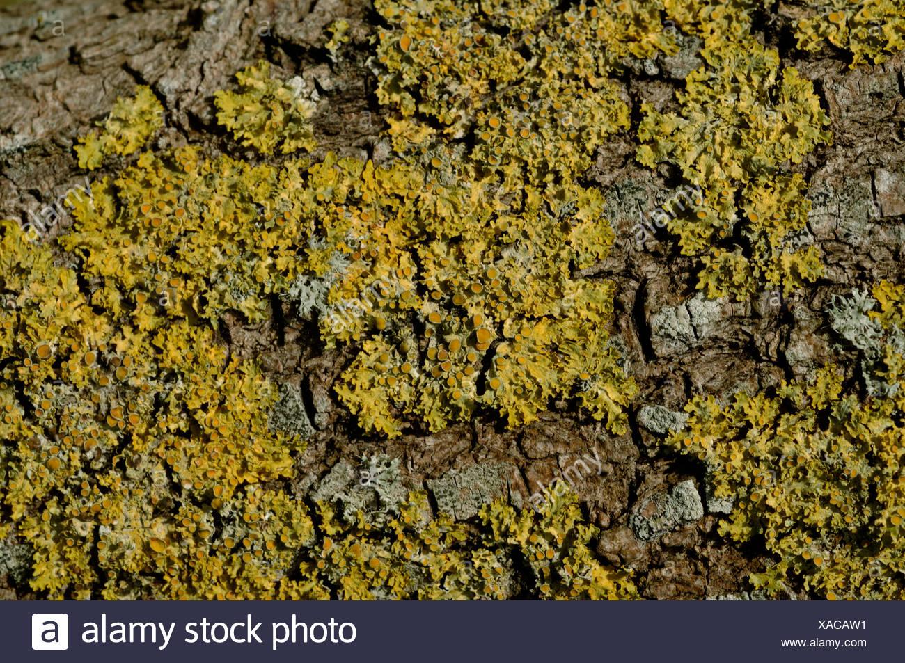 Xanthoria parietina an orange coloured lichen on the bark of a willow tree - Stock Image