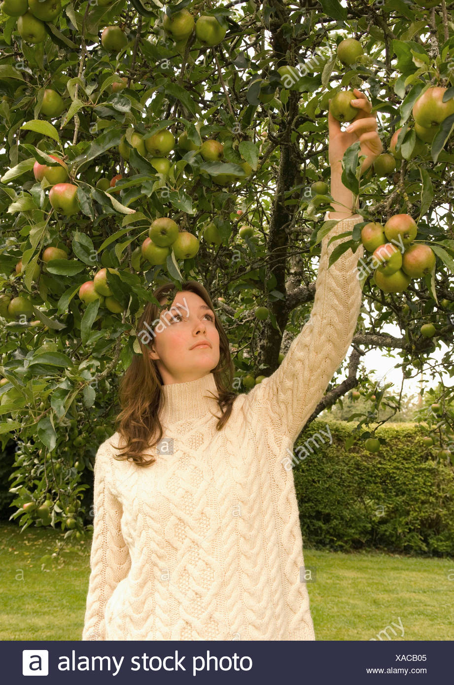 A female picking an apple from a tree - Stock Image